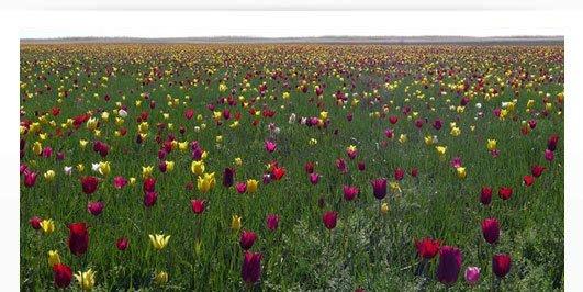 МГМ 2012. Тюльпаны сарматских степей